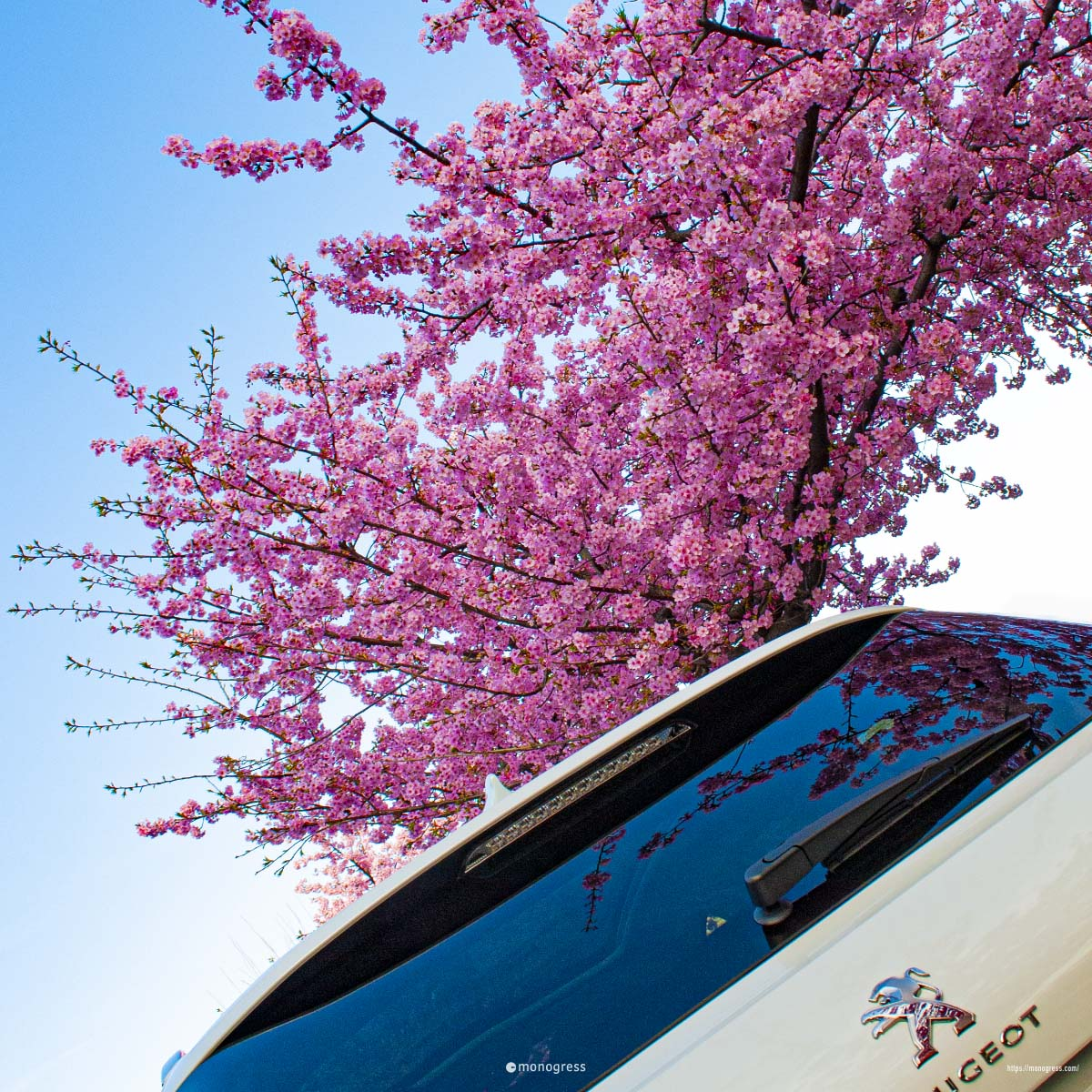 PEUGEOT 308 + 桜