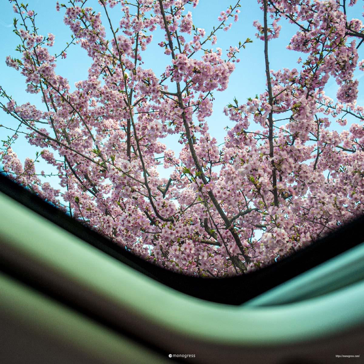 プジョー308SW パノラミックルーフから桜を見る
