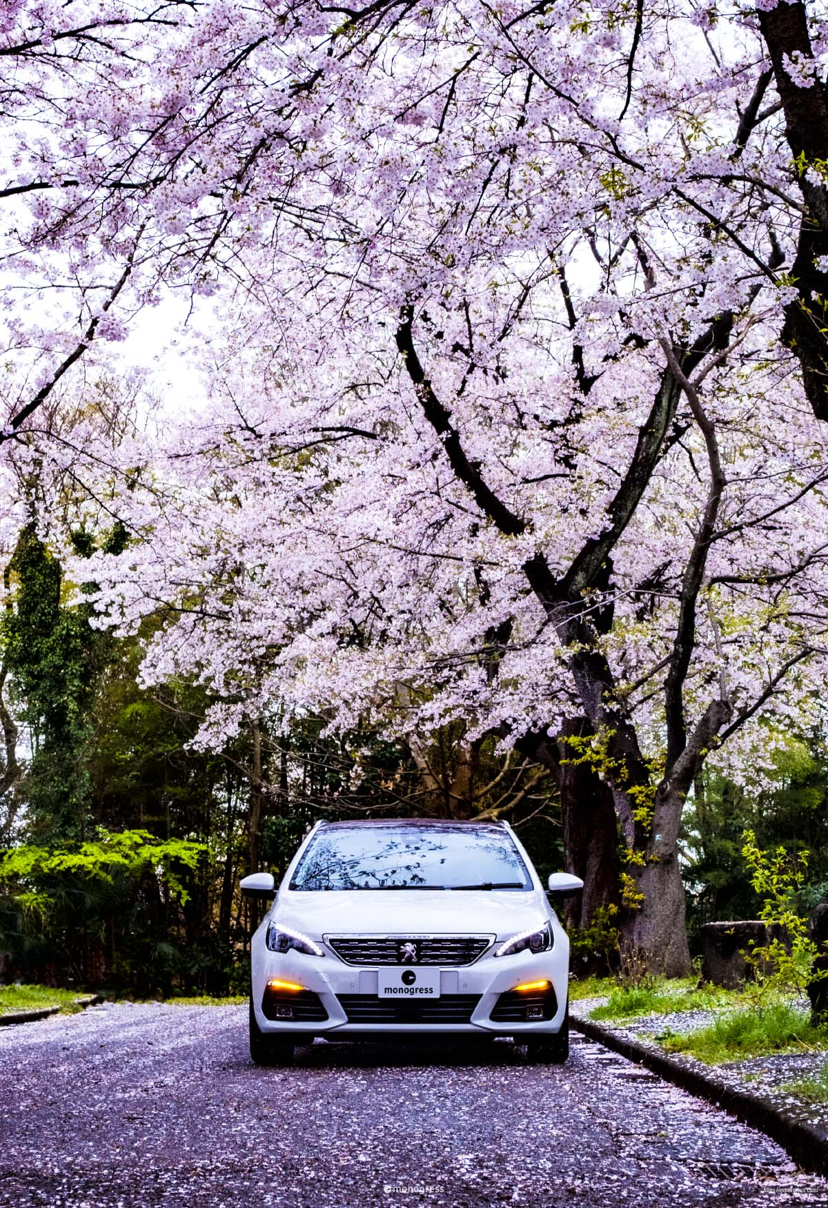 Peugeot 308 と大桜