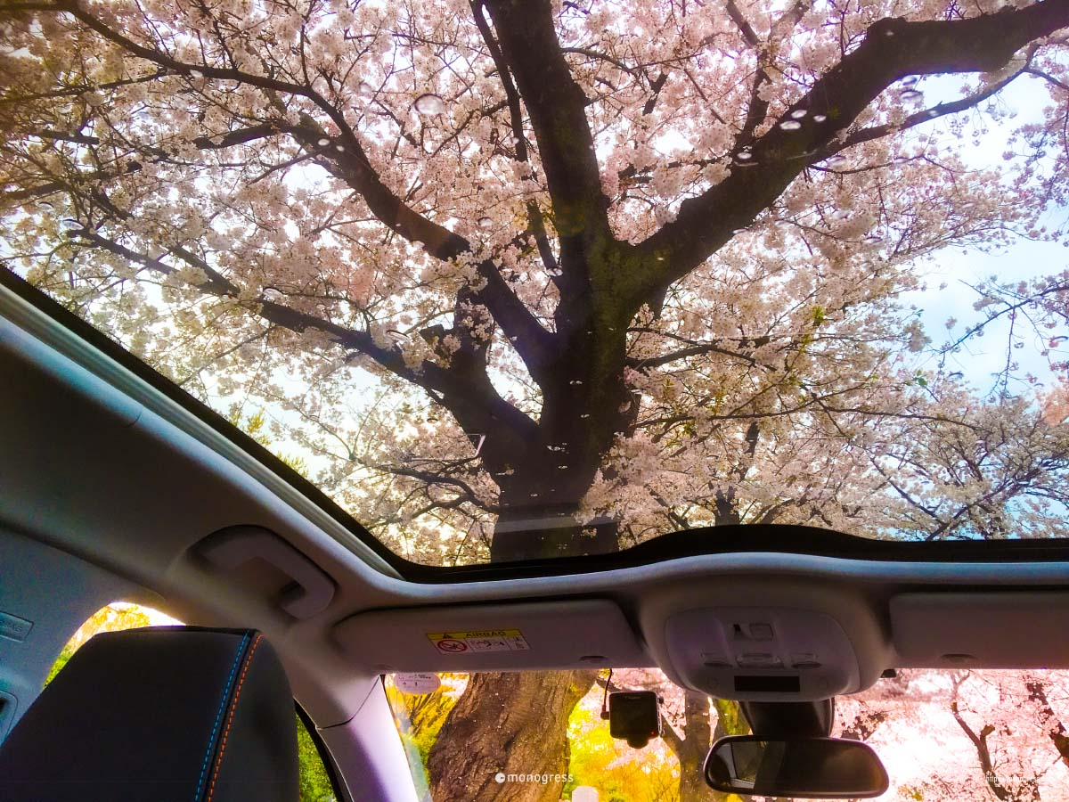 Peugeot 308 パノラミックガラスルーフにうつる桜