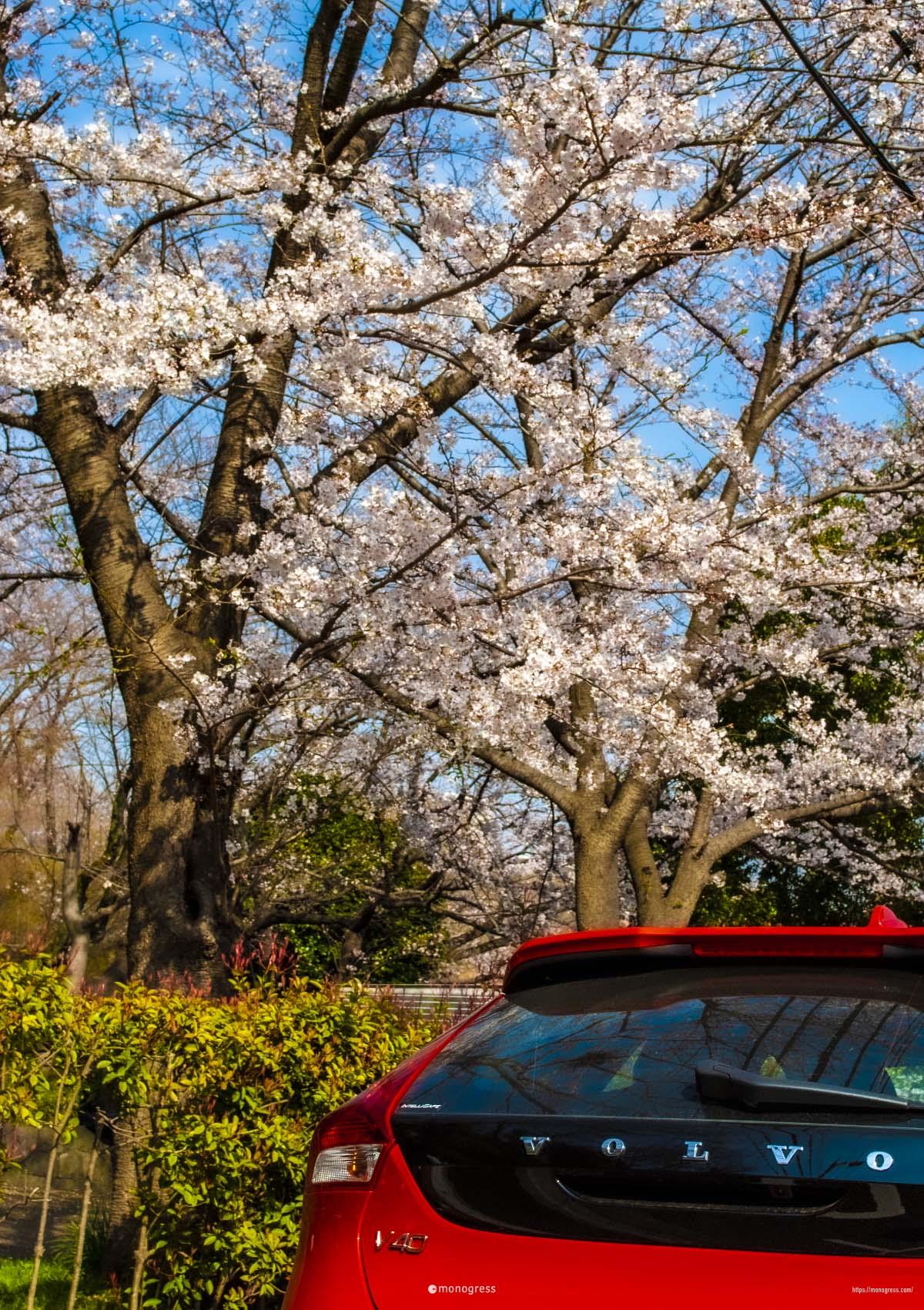 VOLVO V40 と桜